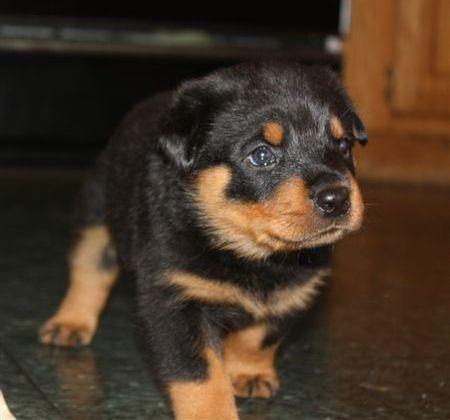 Rottweiler puppies 3 days old